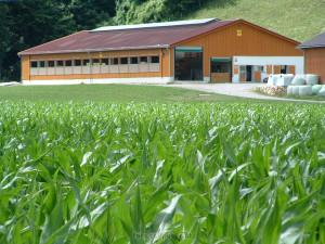 Grössere Stallungen mit mehr Milchkühen sind auch artgerecht angelegt.