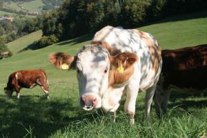 Natürliche Weiden - da schmeckts Resi besonders gut