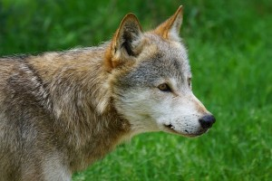 wolf 1439552320 e1439552356182