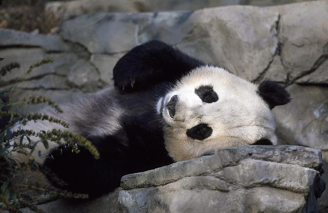panda 1481294817