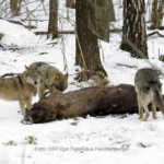 Radioaktive Wölfe in Tschernobyl