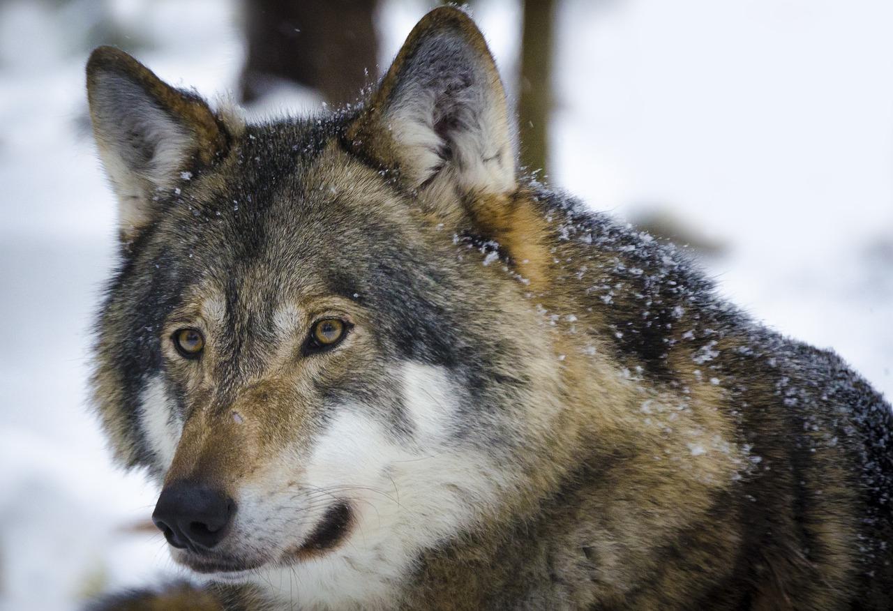 wolf 1515846233