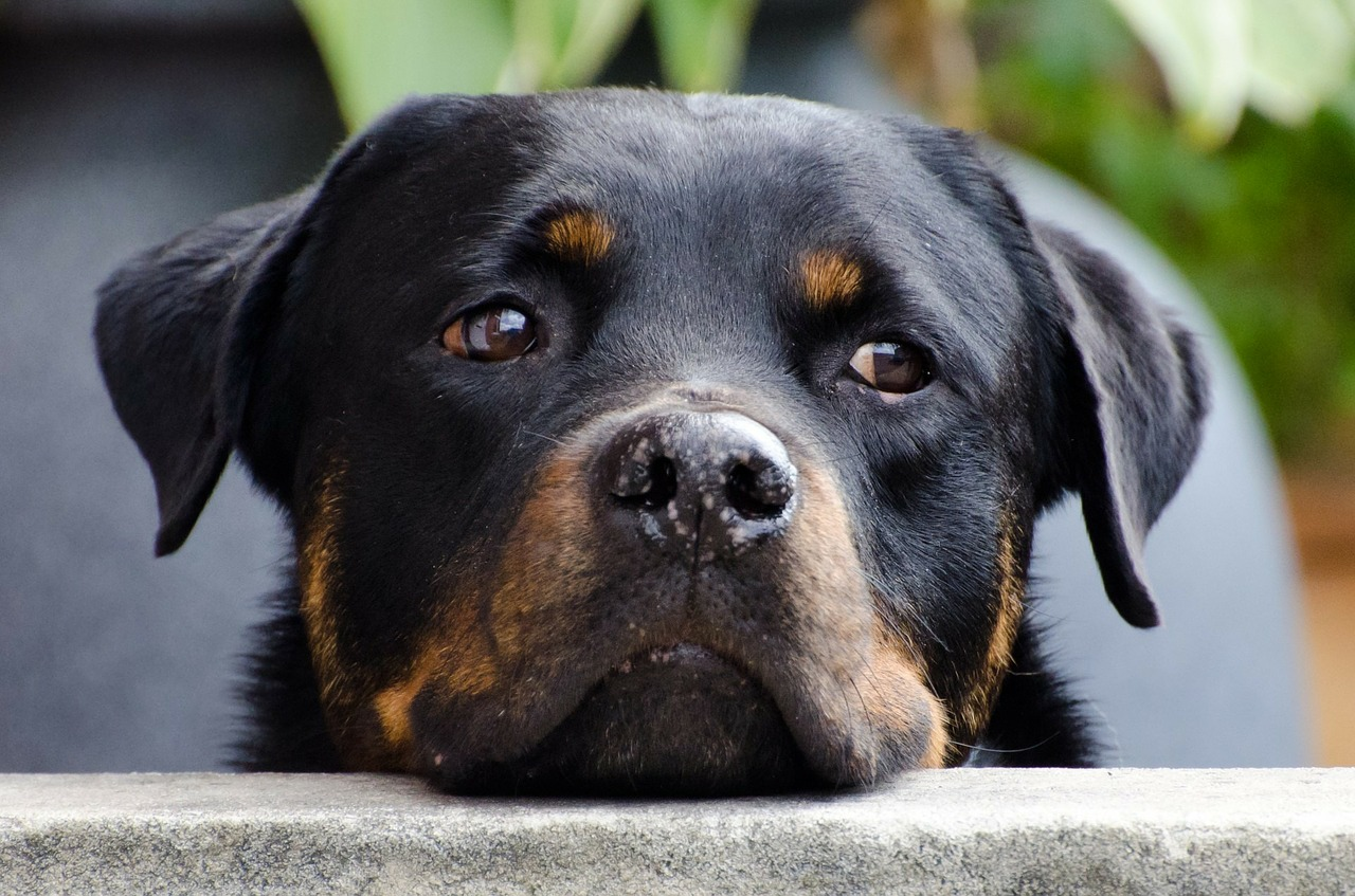 hund rottweiler 1537782208
