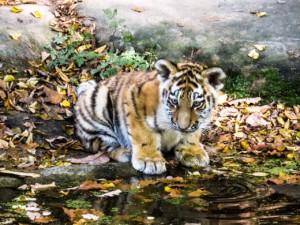 tiger 1566895220
