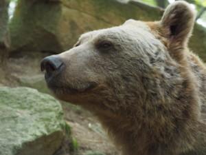 Vinzenz war ein außergewöhnlich schöner sibirischer Braunbär | Fotocredit: VIER PFOTEN